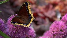 Mourning Cloak (Nymphalis antiopa) on Allium 'Millenium'
