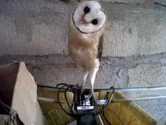 """Barney the Barn Owl"" Dancing to Music (Original)"