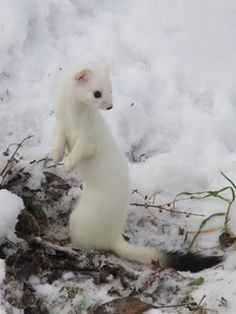 European Stoat (Mustela erminea), also known as Ermine or Short-tailed Weasel Woodland Creatures, Cute Creatures, Beautiful Creatures, Animals Beautiful, Forest Animals, Woodland Animals, Rare Animals, Animals And Pets, Interesting Animals