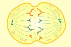 Excellent resource to explore the stages of two types of cell division, mitosis and meiosis, and how these processes compare to one another.