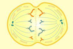 NOVA | How Cells Divide