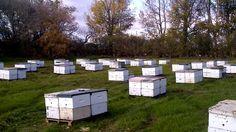 Agrupando las colmenas en otoño para pasar el invierno crudo de Alberta , Canadá.  Difundiendo la apicultura hacemos mucho por el medio ambiente.