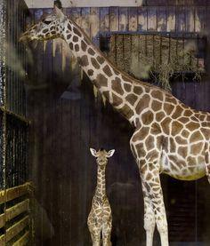 GIRAFFE GAZE  A 3-day-old giraffe gaze