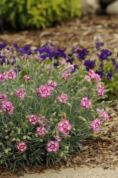 Dianthus Fruit Punch Appleslice-heat and drought tolerant, fragrant