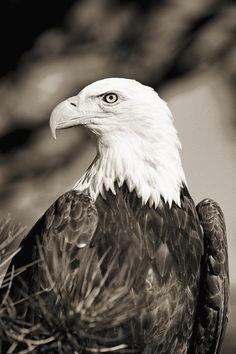 Bald Eagle ~John Hyde