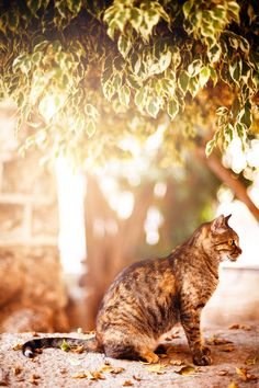 Beautiful tabby cat sitting under the tree - Beautiful tabby cat sitting and resting under the tree in sunset light. Image tones with warm colors. Selective focus.