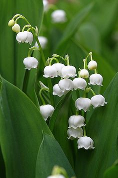 Lily of the valley | by photoholic image
