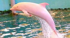 Pinky the Albino Dolphin Was Spotted Again, But She Had a Surprise This Time