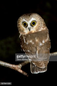 Stock Photo : Northern Saw-whet Owl (Aegolius acadicus), British Columbia, Canada