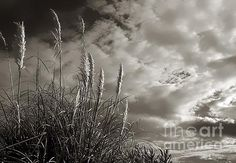 Who thought that sea oats could make such a #dramatic #photograph Sea Oats by Debbie Forand #photography