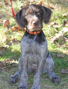 Henry ~ German Wirehaired Pointer Pup ~ Classic Look Wirehaired Pointing Griffon, German Wirehaired Pointer, Pointer Puppies, Hunting Dogs, Pointers, Pets, Animals, Woods, Website
