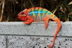 Panther chameleon - (Furcifer pardalis) Found in the eastern and northern parts of Madagascar. Les Reptiles, Cute Reptiles, Reptiles And Amphibians, Mammals, Beautiful Creatures, Animals Beautiful, Colorful Lizards, Colorful Fish, Tropical Fish
