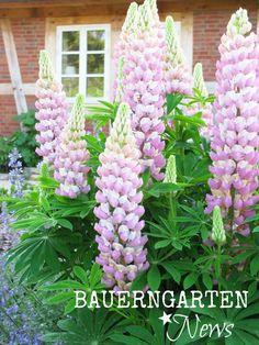 Freudentanz: Bauerngarten News [12]