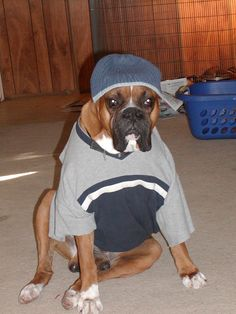 how cute!! boxer dog