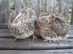 Quail or Chicken? An Introduction to the Joys of Raising Coturnix Quail | Backyard Poultry Magazine