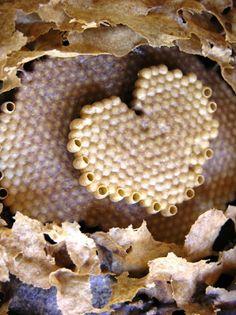 Coração das abelhas nativas