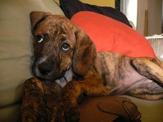 adorable plott hound, reminds me of my Sophie ❤