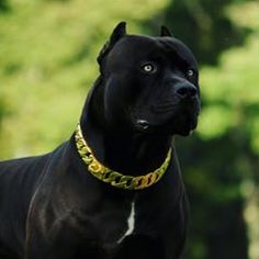 """when I see an image of these dogs.I think """" they are the Guardians Pitbull Americano, Pit Bull Terrier, Amstaff Terrier, Black Pitbull Puppies, Dogs And Puppies, All Black Pitbull, Cão Cane Corso, Big Dogs, Cute Dogs"""