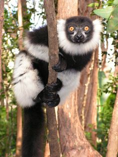 Lemur, unique to Madagascar. http://www.lonelyplanet.com/madagascar/travel-tips-and-articles/77010