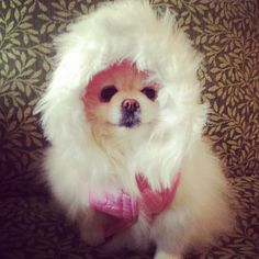 Lily, my Pomeranian is ready for winter :)