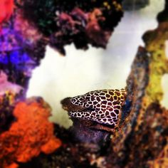 Putting together a saltwater aquarium requires doing some homework. For instance, did you know this saltwater leopard eel requires at least a tank and is known to eat other small fish? Fish Tank Supplies, Aquarium Supplies, Saltwater Aquarium Fish, Saltwater Tank, Fish Tank Terrarium, Terrariums, Fish Tank Design, Fish Home, Underwater Sea
