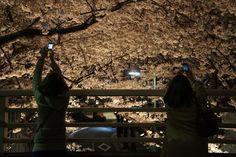Cherry blossoms at night/Roppongi,Tokyo