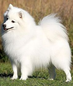 Japanese Spitz. Get a Free Consultation for your #dog from our Friends at Nature's Select http://naturalpetfooddelivery.com/nsd/usa/free-consultation/ #whitedogbreed