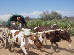 Charette de zebu quitant son village itempolo pour (...) - Madagascar - par cyril dalmasso