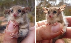 A PhD student at Adelaide University, Amanda McLean captured a series of close-up photographs of a western pygmy possum - native to southern Australia - in the palm of her hand.