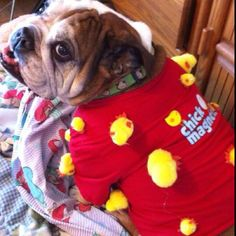 My English Bulldog's Halloween costume for 2011. He was a chick magnet.