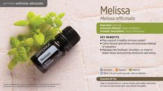 Our most expensive and rare oil, melissa essential oil has a sweet, fresh, citrus-like fragrance and is steam distilled from the fresh flowering tops, leaves and stems of the Melissa officinalis plant. With a wide range of therapeutic properties, melissa can be used for calming the nerves, addressing stomach discomfort, and mood support or seasonal threats. Because the Melissa officinalis plant has an oil yield of less than 1/10 of 1%, it is one of the most commonly adulterated oils.