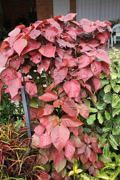 Acalypha 'Copperleaf' is a stunning but uncommon cultivar.('Brazen', 'Copper King', 'Tiki Lava Flow') This large growing plant has large leaves of a bright consistent coppery colour. The stems and leaves are thicker than many other cultivars. This is one of my favourite cultivars, but unfortunately seldom seen.