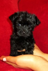 Teacup Morkie......I want one!!!!!!!!!!! And Jax seriously needs a brother or sister :)