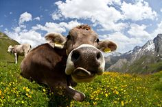 """Welcome to Switzerland "" by Frank & Jules Oberle, via 500px.  Cow in Samnaun, swiss alps , Switzerland"