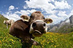 """Welcome to Switzerland "" by Frank & Jules Oberle, via 500px.  Cow in Samnaun, swiss alps , Switzerland"