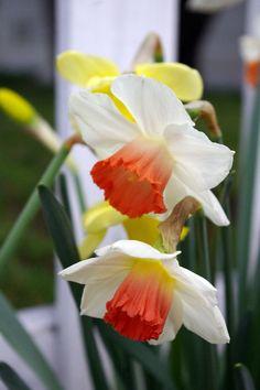 From Heather Fong's garden, Berkeley. Spring Flowers, Wild Flowers, Welcome Spring, Bulbs, Rose, Garden, Plants, Flowers, Lightbulbs