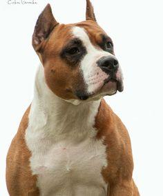 Amstaff Terrier, Pitbull Terrier, Mans Best Friend, Best Friends, American Pitbull, Bully Dog, Large Dog Breeds, American Staffordshire, Pit Bulls