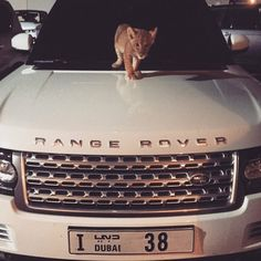 car, range rover, and luxury image Cute Baby Animals, Animals And Pets, Funny Animals, Range Rover, Pet Lion, Car Goals, Future Car, Exotic Cars, Luxury Cars