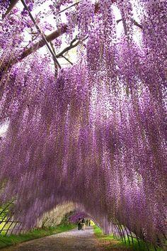 Wisteria tunnel, Kawachi Wisteria Garden, Kitakyushu, Fukuoka, Japan Such a beautiful photo! Beautiful World, Beautiful Gardens, Beautiful Places, Beautiful Pictures, Romantic Places, Nature Pictures, Wisteria Garden, Wisteria Tree, Wisteria Japan