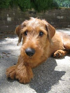 Saw two Irish Terrier puppies at the Horse Show and fell in love...