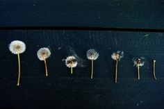 dandelion clocks :: via A Well-Traveled Woman