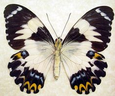 Rare Butterfly Species   euchenor real framed frilled female butterfly 8075f asian butterflies ...