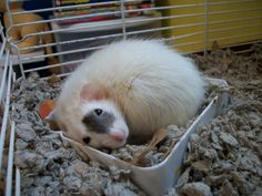 cute rat has outgrown his teeny-tiny bed Funny Rats, Cute Rats, Animals And Pets, Cute Animals, Strange Animals, Rats Mignon, Rat Care, Dumbo Rat, Rodents