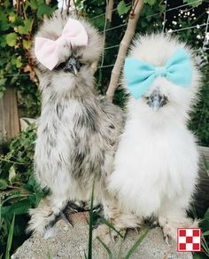 Just to make you smile: Two fashionable Silkies.   Photo by Purina Poultry Facebook fan Katie G.