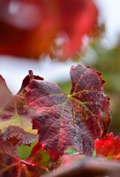 Vineyard leaves change varying colors throughout Autumn, bringing gorgeous hues of red to the vines.