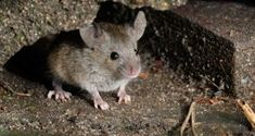 Learn the best methods to deal with mice infestations in your home, and how Terminix can help keep the mouse out of the house. Anti Rat, Natural Wood Cleaner, Cleaning Outdoor Cushions, Mouse Bait, Wood Floor Repair, Getting Rid Of Rats, Clean Couch, How Do You Clean, Pest Control Services