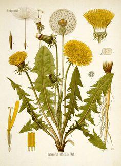 Dandelion print. Botanical illustration. Dandelion poster.