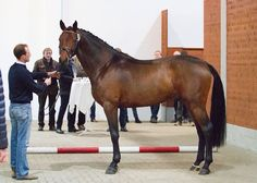 Hanoverian at the Verden Auction