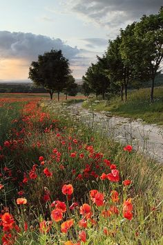 Poppy Path - Landscapes