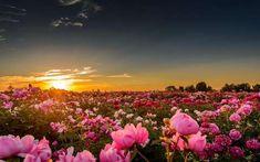 Pünkösdi rózsa ültetvény, naplementében.